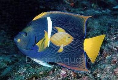 Passer Angelfish - Holacanthus passer - Passer Angel Fish