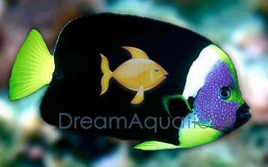 Personifer Angel Male - Chaetodontoplus personifer - Bluemask Western Yellow Tail Angel Fish