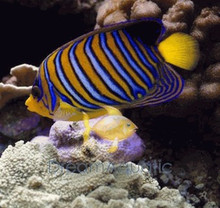 Regal Angelfish - Pygoplites diacanthus - Regal Angel Fish