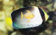 Singapore Angelfish - Chaetodontoplus mesoleucus - Vermiculated Angel Fish