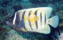 Six Bar Angelfish - Pomacanthus sexstriatus - Six-Banded Angel Fish