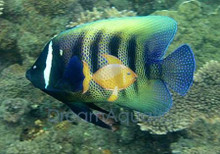 Six Bar Angelfish Juvenile - Pomacanthus sexstriatus - Six-Banded Angel Fish