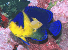 Venustus Angelfish - Centropyge venustus - Purplemask Angel Fish