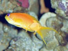 Lyretail Orange Female Anthias - Pseudanthias squamipinnis - Scalefin Anthias - Jewel Lyretail Anthias