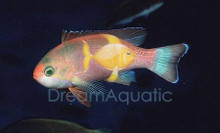 Pictilis Male Anthias - Pseudanthias pictilis - Pictilis Anthias