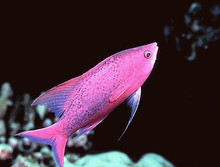 Purple Queen Anthias - Mirolabrichthys tuka - Amethyst, Sailfin Anthias