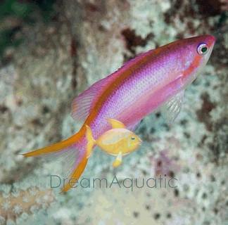 Ventralis Anthias - Pseudanthias ventralis - Longfin Anthias