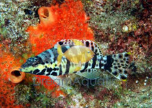 Harlequin Basslet - Serranus tigrinus - Harlequin Bass