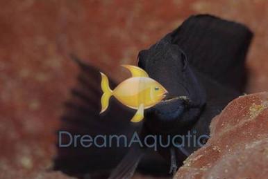 Black Combtooth Blenny - Ecsenius namiyei - Namive's Blenny - Kupang Black Blenny - Yellowtail Black Blenny