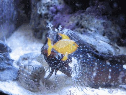 starry blenny salarias ramosus snowflake blenny dreamaquatic com
