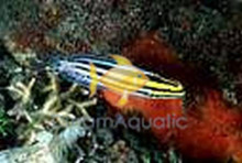Striped Fang Blenny - Meiacanthus grammistes - Striped Grammistes Blenny