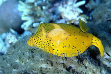 Cubicus Boxfish - Ostracion cubicus - Box Fish