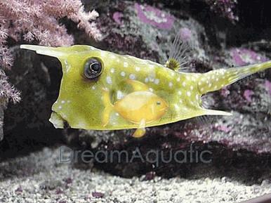 Longhorn Cowfish - Lactoria cornuta - Long Horn Cow Fish