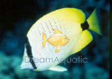 Lemon Butterfly Fish - Chaetodon miliaris - Milletseed Butterflyfish