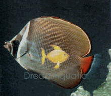 Pakistan Butterfly Fish - Chaetodon collare - Milletseed Pakistani - Red-Tail Collare Butterflyfish