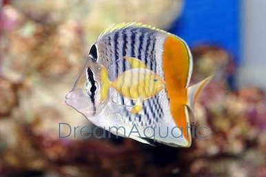 Pearlscale Butterfly Fish - Chaetodon xanthurus - Yellow-Tail Butterflyfish