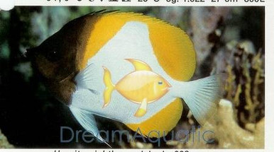 Pyramid Butterfly Fish - Hemitaurichthys polylepis - Pyramid Butterflyfish - Banded Butterfly - Yellow Zoster Butterfly
