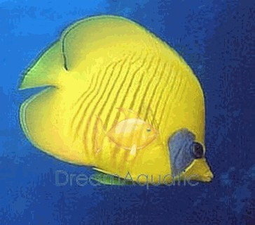 Red Sea Butterfly Fish - Heniochus Bannerfish Butterfly - Chaetodon semilarvatus - Bluecheek butterflyfish
