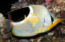 Saddle-Back Butterfly Fish - Chaetodon ephippium - Saddled Saddleback Butterflyfish