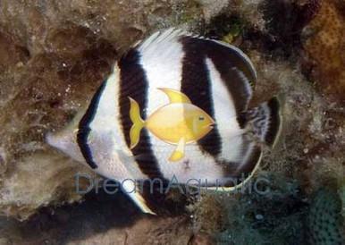 Spot-Banded Butterfly Fish - Chaetodon punctatofasciatus - Dot Dash Butterfly - Spotbanded