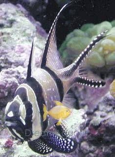 Banggai Cardinal Fish - Pterapogon kauderni - Cardinalfish