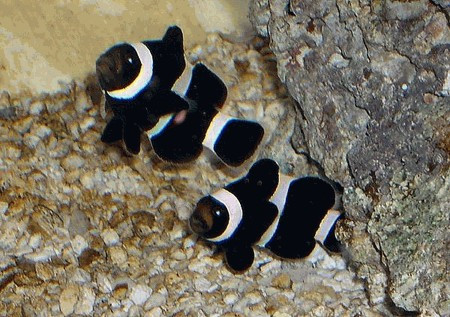 black white ocellaris clown fish amphiprion ocellaris black