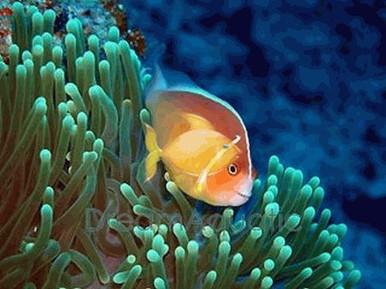 Orange Skunk Clown Fish - Amphiprion sandaracinos - Pink Anemonefish - Orange Skunk Clownfish