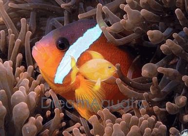 Tomato Clown Fish - Amphiprion frenatus - Tomato Anemonefish Clownfish