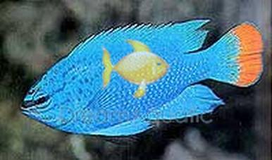 Orangetail Blue Devil Damsel Damsel Fish - Chrysiptera cyanea - Orange Tail Damselfish