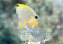 Talbot's Damsel Fish - Chrysiptera talboti - Talbot's Demoiselle Damselfish