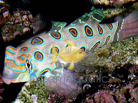 spotted mandarin goby fish synchiropus picturatus dragonet