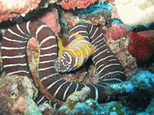 Zebra Moray Eel - Gymnomuraena zebra - Carpet Eel Blenny - Eared Eel Blenny - Green Wolf Eel
