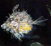 Tassle Filefish - Prickly Leatherjacket - Chaetodermis pencilligerus - Leafy File Fish