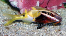 Bicolor Goatfish - Parupeneus barberinoides - Hawaiian Goat Fish