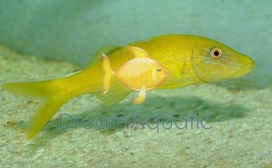 Yellow Goatfish - Parupeneus cyclostomus - Goldsaddle Goat Fish
