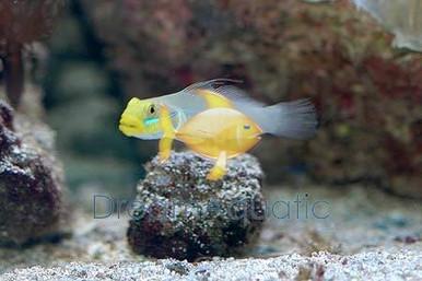 Golden Head Sleeper - Sleeper Gold Head Goby - Valenciennea strigata - Yellowheaded Sleeper - Blueband Goby