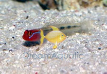 Red Headed Goby - Gobiosoma puncticulatus - RedHeaded Gobies