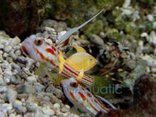 Yasha Hase Shrimp Goby - Stonogobiops species - Candy Stripe Goby - Whiteray Shrimp Goby