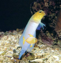 Yellowhead Caribbean Jawfish Goby - Opistognathus aurifons - Yellowhead Jawfish Goby
