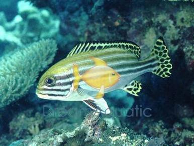 Dogfish Orientalis - Grunts Sweetlips - Plectorhinchus lineatus - Yellow-banded Sweet lips