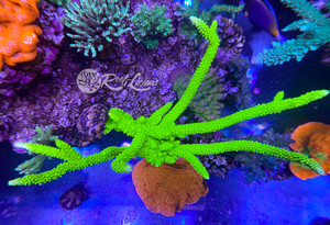 Aussie Toxic Green Slimer Acropora