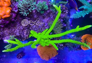 Aussie Toxic Green Slimer Acropora
