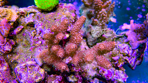 Copper Millepora