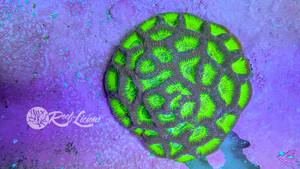 Honeycomb Goniastrea