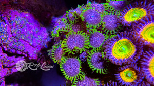Purple Monster Zoanthids