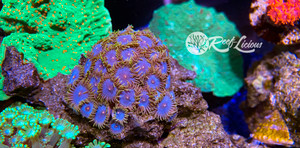 Blue Periwinkle Zoanthids