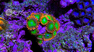 Goblins On Fire Zoanthids