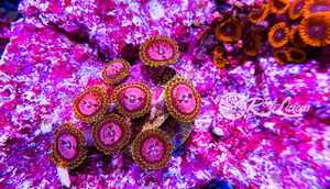 Pink Diamond Zoanthids