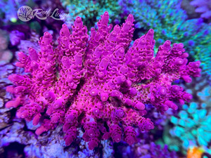 Dragon Fruit Acropora