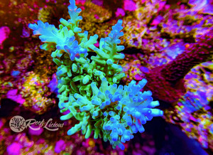 Blue Lagoon Acropora